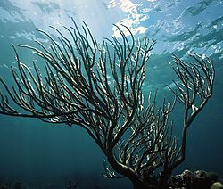 Gorgonian_Coral.jpg
