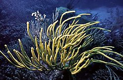 Gorgonian_Coral_moving_in_the_Current.jpg