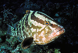 Nassau_Grouper.jpg