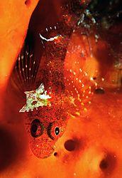 Red_Blennie_on_Sponge.jpg