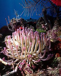 Sea_Anemone:_Coral_Gardens.jpg