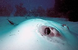 Sting_Ray_hiding_in_the_Sand.jpg