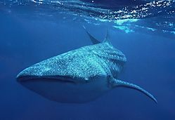 Whale_Shark_40_.jpg