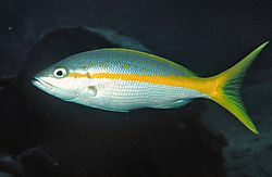 Yellow_Tail_Snapper.jpg