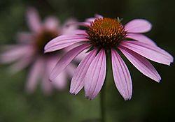 Cone_flower2.jpg