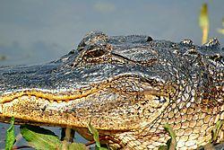 Gator_Grin_2.jpg