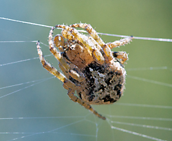 Spider1.png
