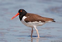 Oystercatcher_Close-up0000.jpg