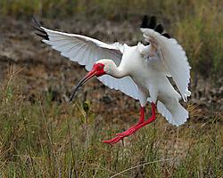 White_ibis2.jpg