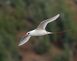 Red-tailed_tropicbird.jpg