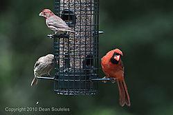 Backyard_Birds_20100509-3660.JPG