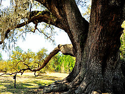 DSC3371-Jan-Cellon-Oak.jpg