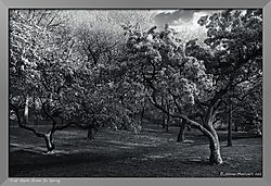 SM16360_-_Version_2Crab_Apple_Grove_In_Spring.jpg