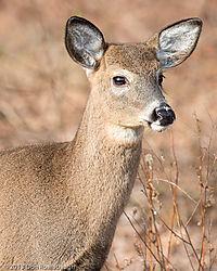 Deer23.jpg