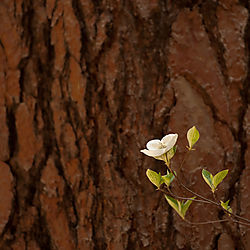 Dogwood_and_Redwood1.jpg