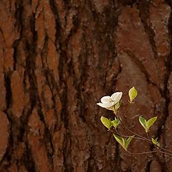 Dogwood_and_Redwood1.jpg