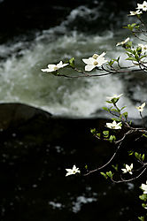 Dogwoods_at_Merced_River1.jpg