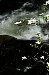 Dogwoods_at_Merced_River1.jpg