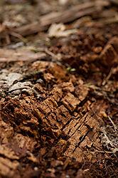 Rotting_Wood.jpg