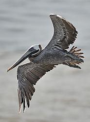 AJE-20100603-074934-0203_-_pelican.jpg