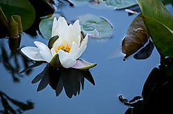 The_First_Lily_of_2010_20100530_0003.jpg