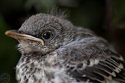 Baby_Mockingbird.jpg