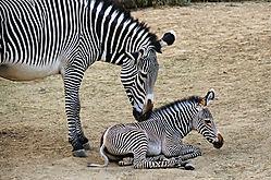 Zebra_Foal_Mom.jpg