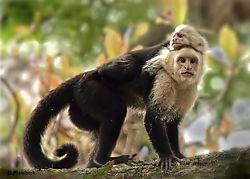 capuchinnik.jpg