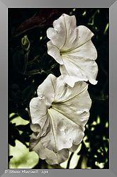 SM01557_-_Version_2Untitled_White_Blossoms_.jpg