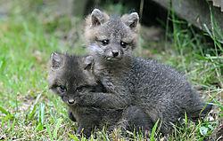fox_kits.jpg
