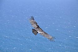 Condor_Release_-_Coastlands_030.JPG