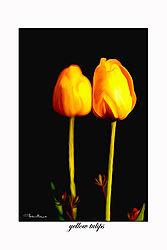 yellow_tulip_pb_br.jpg