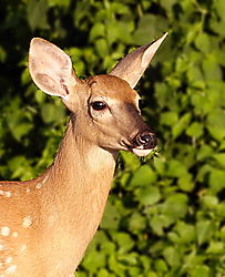 Fawn_in_Early_Evening_Light.jpg