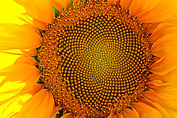 sunflower8.jpg