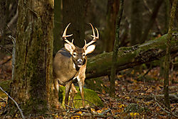 whitetail_buck.jpg
