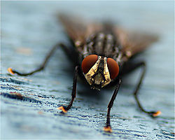 Byrne-J-Flesh-Fly2.jpg