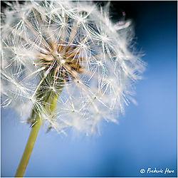 Dandelion_in_seed_c_900h_srgb_6279.jpg