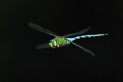 Dragonfly27.jpg