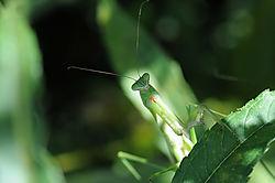 Mantis_174.jpg