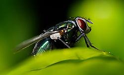 The_Fly.jpg