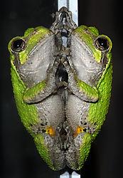 Treefrog_3345.jpg