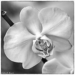 Orchid_in_Monochrome-1.jpg