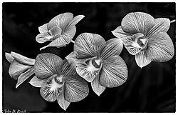Orchids_in_Monochrome_Variation_.jpg
