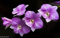 Violet_Orchids_-_Lewis_Ginter_Botanical_Tony_Sweet_Pencil_Sketch_.jpg