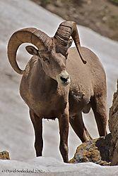 Bighorn_sheep_1.jpg