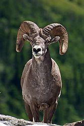 Bighorn_sheep_2.jpg