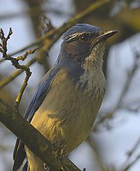 BlueJay_Strybing1_Arboretum.jpg