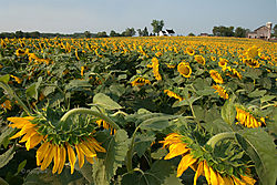 SunflowerField_Nikonians_RGeoghan_0027.jpg