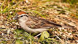 Chipping_Sparrow_DSC6273.jpg