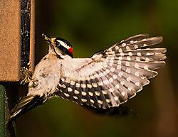 Downy_Woodpecker_DSC8202.jpg